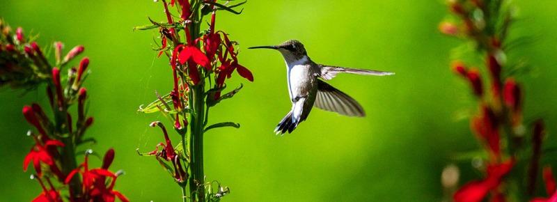 LC_FEatured_Hummingbird