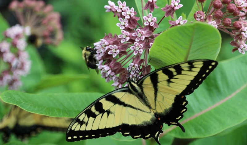 pollinatorsonmilkweed-credit-brandon-hayes
